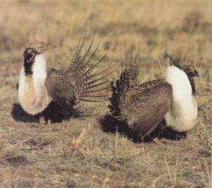 courtship-lek-Grouse