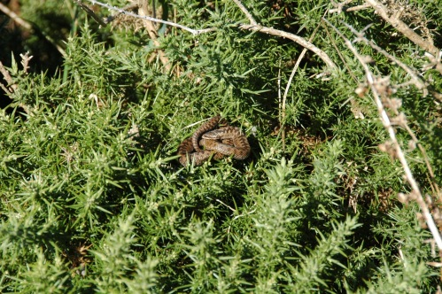snake in the gorse
