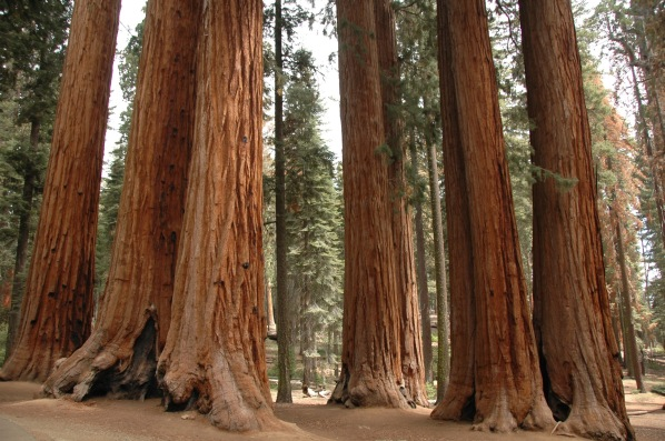 red-sequoias